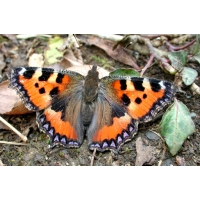 Small Tortoiseshell Aglais urticae 20 larvae